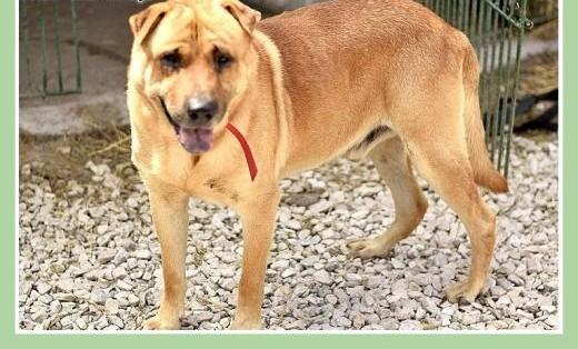 35 kg mix shar peia do domu z ogrodem   czyjny odważny pies TAJFUNAdopcja   łódzkie Łódź