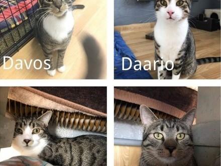 Bardzo uspołecznieni koci bracia czekają na dom