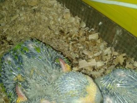 Papugi rencznie karmione