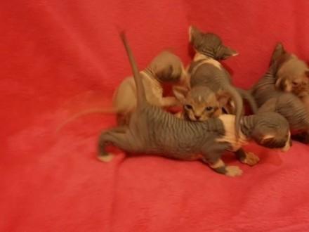 Mam na sprzedaż kocięta Sfinks kanadyjski   Koty sfinks cała Polska