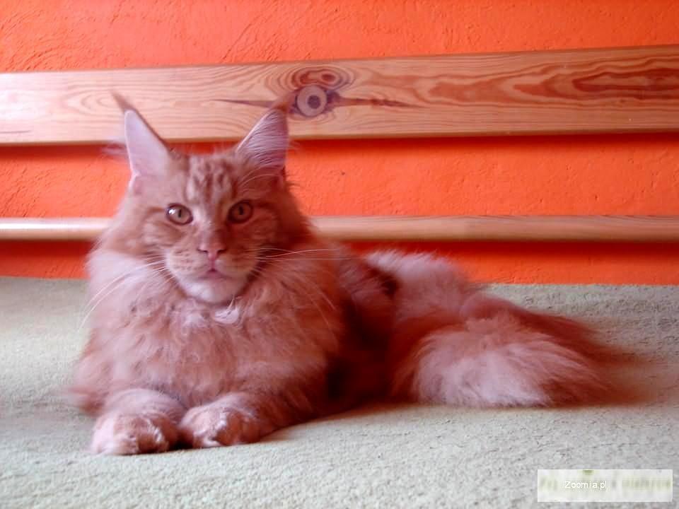 Rudy Kocurek Maine Coon Z Rodowodem Maine Coon Cats Archives