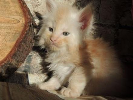 Kociaki Meine Coon   śląskie Gliwice