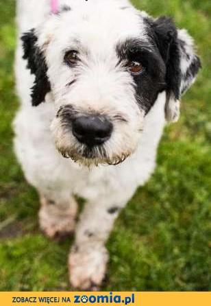 Prozak - spokojny, grzeczny kudłaty pies (mix PON) szuka dobrego domu,  małopolskie Kraków