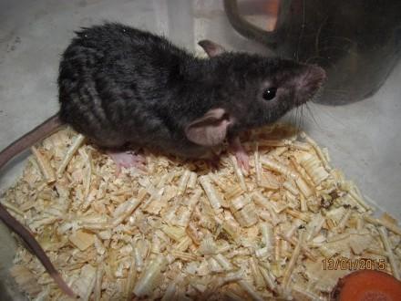 Szczury fuzz,dumbo,fuzz-dumbo,rexy,dumbo-rexy i inne
