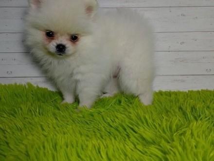 Szpic/Pomeranian