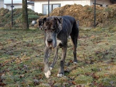 Max - 3 letni rodowodowy dog niemiecki do adopcji