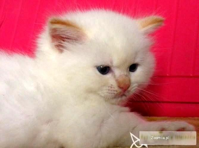 Teo-Cat Pl profesjonalna hodowla kotów Ragdoll
