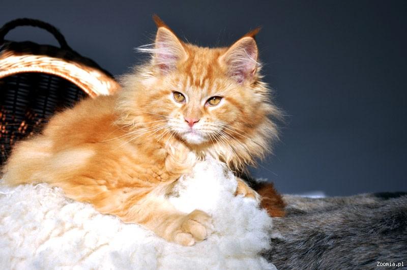 Maine Coon , ostatnie kocieta z miotu F