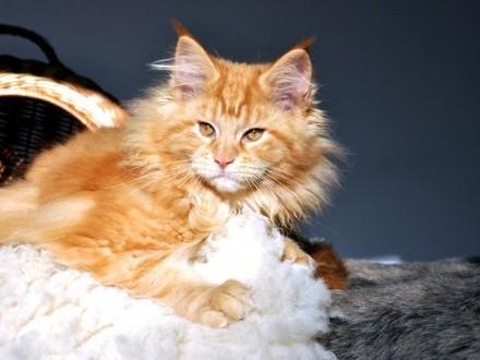 Maine Coon   ostatnie kocieta z miotu F