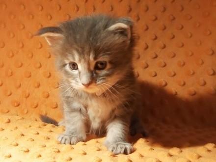 Hawana - niebieska koteczka Maine Coon z rodowodem FPL