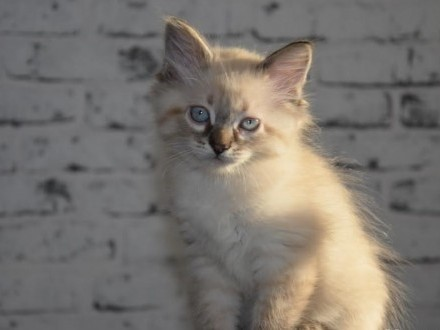 Śliczny kotek rasy Neva Masquerade