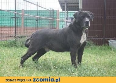 Piękny, bardzo duży, molosowaty pies szuka domu