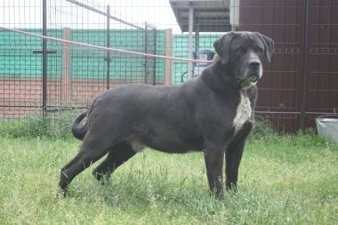Piękny  bardzo duży  molosowaty pies szuka domu