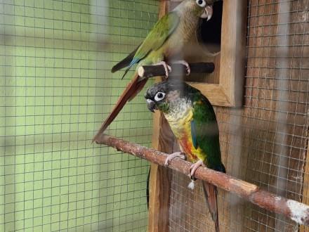 Papugi Para legowa