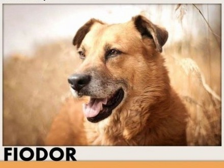 FIODOR  40kg duży spokojny zrównoważony pies do adopcji   śląskie Katowice