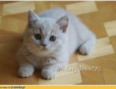 Wyjątkowy kociak brytyjski kocięta brytyjskie rodowód WCF