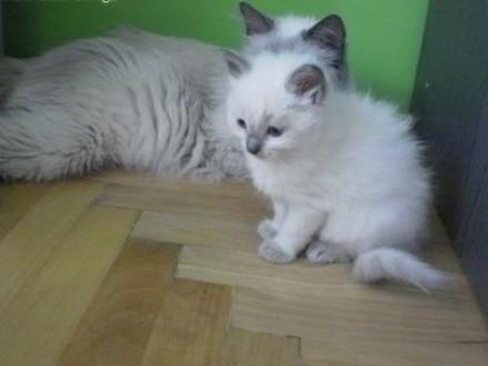 Sprzedam niebieską kotkę Ragdoll może być do hodowl   Koty ragdoll cała Polska