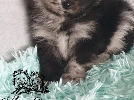 Pomeranian Szpic miniaturowy piesk i sunia PASZPORT!!!