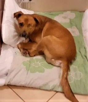 KARMEL - kochany  grzeczny psiak szuka dobrego domu   mazowieckie Warszawa