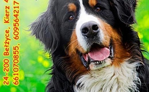Berneński pies pasterski    Berneński pies pasterski cała Polska