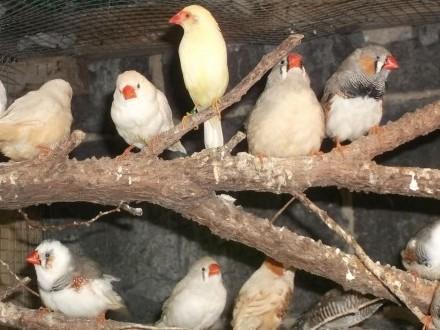 Zeberki ptaki do lęgu