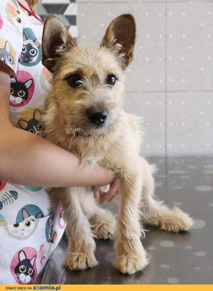 URWIS młodziuteńki piękny psiak szuka kochającego domku,  Kundelki cała Polska