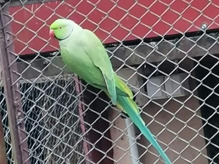 Papugi Aleksandretty szkarlatki Księżniczki i inne