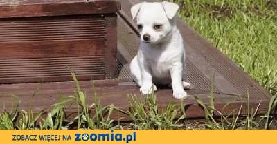 mini Chihuahua,  kujawsko-pomorskie Bydgoszcz