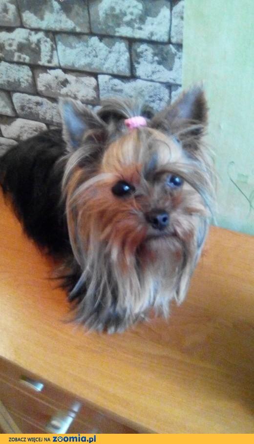 suczka yorkshire terrier z metryką-miniaturka,  mazowieckie Płock