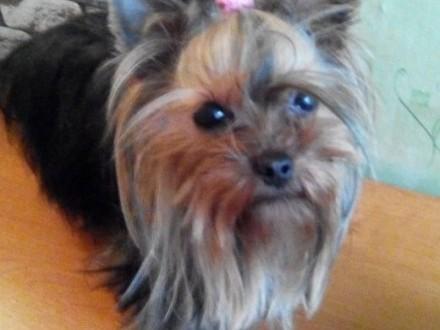 suczka yorkshire terrier z metryką-miniaturka   mazowieckie Płock