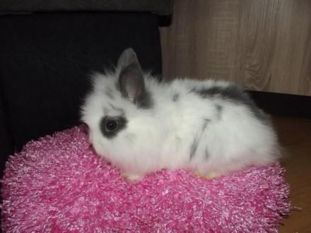 królik króliczek karzełek teddy biały z niebieskimi dodatkami