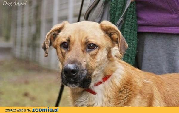 Drago, duży, dostojny pies do adopcji
