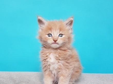 MAINE COON - kremowe kocięta E - rodowód FPL/FIFE