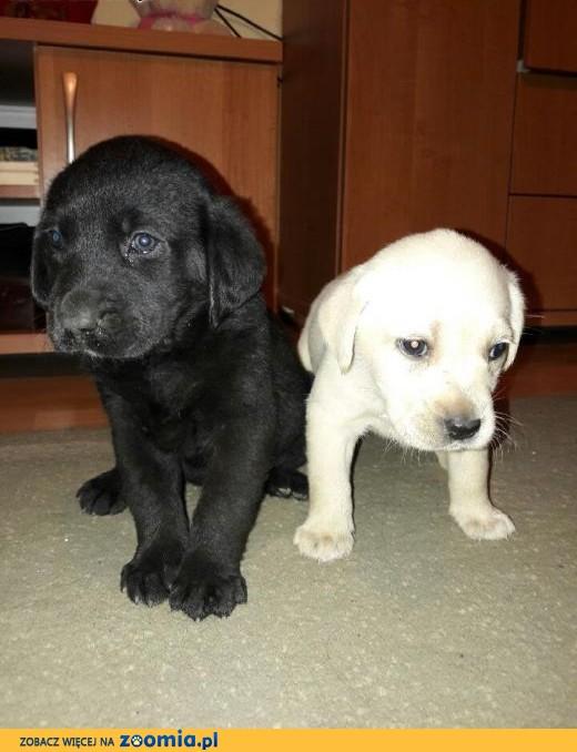 szczeniaki Labrador Retriever - sprzedam,  Labrador retriever cała Polska