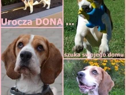 Kochana DONA szuka swojego miejsca na ziemi ;#8230;    Beagle cała Polska