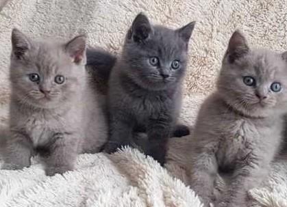 Kocięta brytyjskie niebieskie krótkowłose
