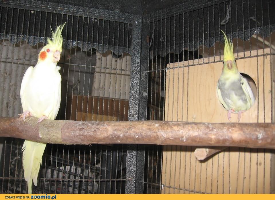 Papugi nimfy pary lęgowe