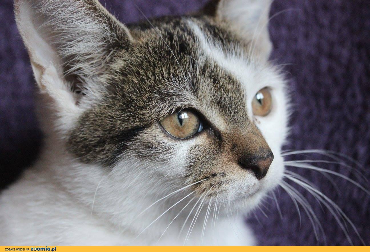 Roksy, 3 miesięczna koteczka szuka domu!