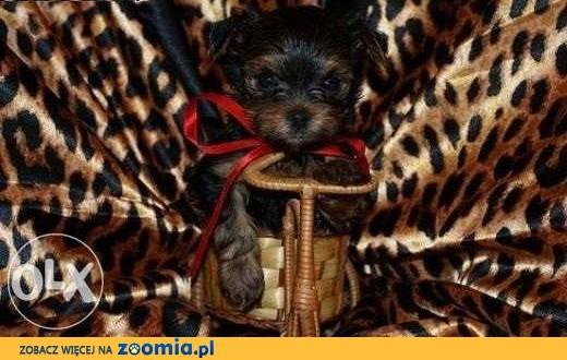 York/ yorkshire terrier / miniaturka / suczka/pies,  kujawsko-pomorskie Toruń