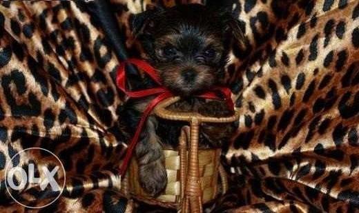 York/ yorkshire terrier / miniaturka / suczka/pies   kujawsko-pomorskie Toruń