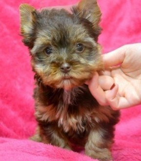 yorkshire terrier york suczka po chionach ZKwP/FCI