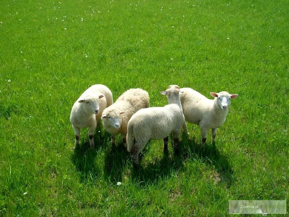 owce owieczki baranki
