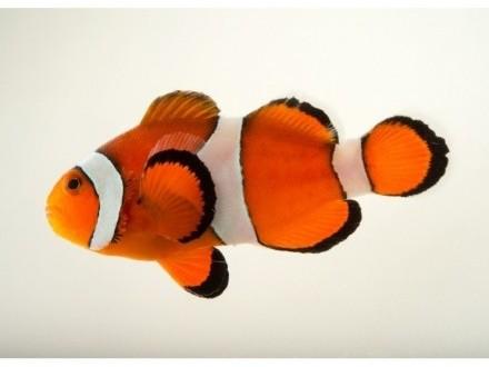 Amphiprion ocellaris  Błazenki  Nemo do akwarium morskiego