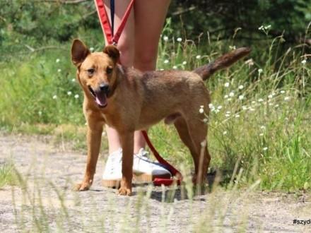 Pikolo-nieduży młody przyjacielski energiczny psiak   małopolskie Chrzanów
