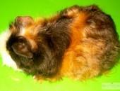 Świnka Morska Texel - samiczka - Rodowodowa
