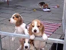 Beagle szczenięta do przyjęcia
