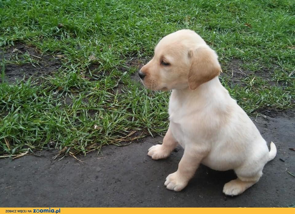 Labrador szczeniaki