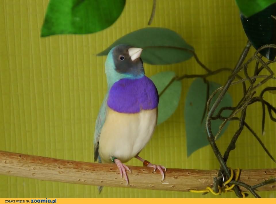 Amadyna Wspaniała-pastel niebieski!