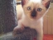 Siamese kocięta wyjechały do dobrego domu