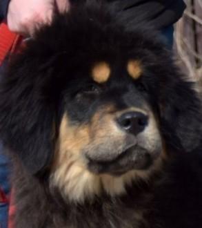 Mastif Tybetański - ostatnia sunia z cudownym charakterem gotowa na zmianę domu
